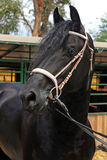 Portrait of a purebred friesian horse Royalty Free Stock Photography