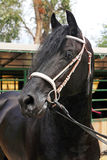 Portrait of a purebred friesian horse Royalty Free Stock Photo