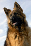 Portrait of a purebred german shepherd royalty free stock image