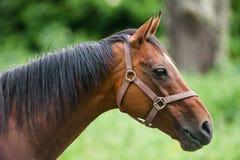 Portrait of purebred horse Stock Photo