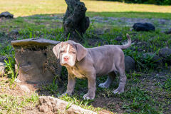 Portrait Of Purebred Neapolitan Mastiff Puppy Royalty Free Stock Image