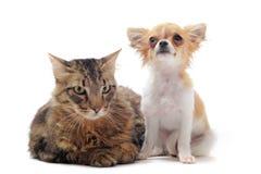 Norwegian cat and chihuahua Stock Image