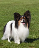 Portrait of purebred Papillon dog Stock Images