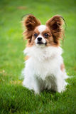 Portrait of purebred Papillon Stock Images