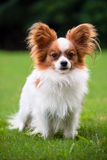 Portrait of purebred Papillon Stock Photography