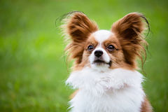 Portrait of purebred Papillon Stock Photo