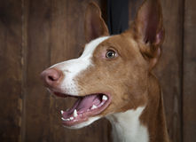 Portrait of purebred Podenco ibicenco dog indoors Royalty Free Stock Images