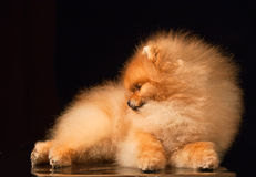 Portrait of a purebred pomeranian spitz Royalty Free Stock Photography