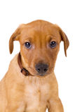 Portrait of a purebred red German Pinscher puppy Stock Photography