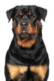 Portrait of a purebred rottweiler Stock Photo