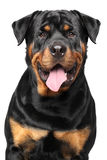 Portrait of a purebred rottweiler Royalty Free Stock Image