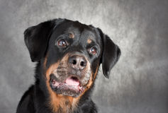 Portrait of a purebred  rottweiler in studio. Stock Photos