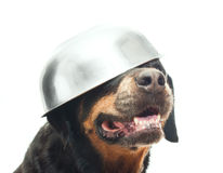 Portrait of a purebred  rottweiler in studio. Royalty Free Stock Photography