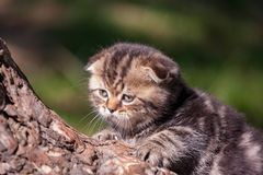 Scottish Fold kitten. Portrait of the purebred Scottish Fold kitten on the tree Royalty Free Stock Image