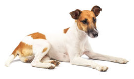Portrait of a purebred smooth fox terrier Royalty Free Stock Photos