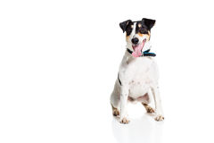 Portrait of a purebred smooth fox terrier  white background Royalty Free Stock Photos