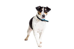 Portrait of a purebred smooth fox terrier  white background Stock Photo