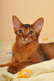 Portrait of somali ruddy color. Portrait of purebred somali kitten ruddy color lying on the bed and looking aside Royalty Free Stock Photo