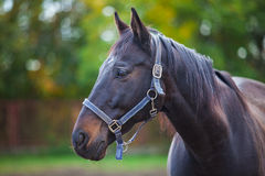Portrait of purebred white horse Royalty Free Stock Photo
