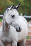Portrait of purebred white horse Stock Photo