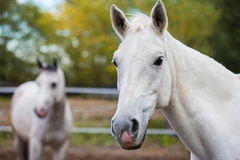 Portrait of purebred white horse Stock Photos