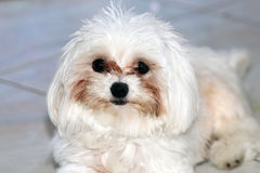 Portrait of a purebred white maltese dog. Close up shot of breed the maltese dog Royalty Free Stock Image