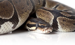 Portrait of python snake closeup Royalty Free Stock Images