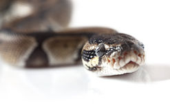 Portrait of Python snake closeup Royalty Free Stock Photography