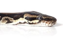 Portrait of Python snake closeup Royalty Free Stock Photos