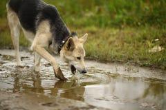 Portrait que les boissons d'un chien arrosent du magma photographie stock