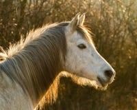 Portrait rétro-éclairé de cheval Photo libre de droits