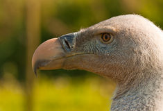 Portrait of a Rüppell's Vulture Stock Images
