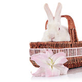 Portrait of a rabbit in a basket with a lily flower. Stock Image