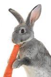 Portrait rabbit Stock Photos