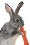 Portrait rabbit Royalty Free Stock Photos