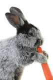 Portrait rabbit Royalty Free Stock Photography
