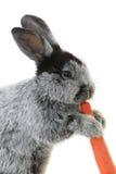 Portrait rabbit Royalty Free Stock Photography