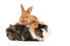 Portrait of rabbit and guinea pig Royalty Free Stock Images