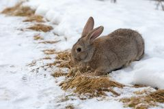 Portrait of a rabbit in winter Stock Images