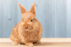 Portrait of rabbit on wooden table Stock Image