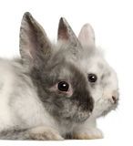 Portrait of rabbits Royalty Free Stock Photography