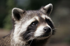 Portrait of a raccoon Stock Photography