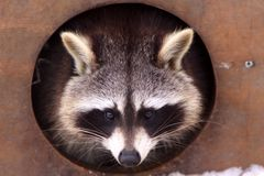 Portrait of a raccoon Royalty Free Stock Image