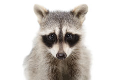 Portrait of a raccoon closeup Royalty Free Stock Image