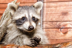 Portrait of a raccoon Royalty Free Stock Photos