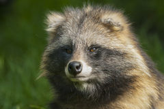 Portrait of a raccoon dog. Royalty Free Stock Photography