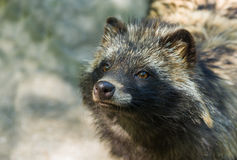 Portrait of raccoon dog hypnotizing visitors Stock Photography
