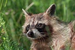 Portrait of raccoon Stock Photography
