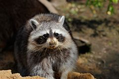 Come play in the sandbox. Portrait of raccoon lotor common. Playing in the sandbox. Photography of wildlife Stock Photo