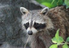 Portrait of raccoon Stock Photos